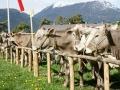 braunviehzuchtausstellung-100-jahre-vzv-2012_001