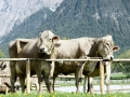 braunviehzuchtausstellung-100-jahre-vzv-2012_004