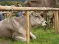 braunviehzuchtausstellung-100-jahre-vzv-2012_033