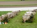 braunviehzuchtausstellung-100-jahre-vzv-2012_103