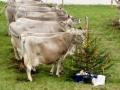 braunviehzuchtausstellung-100-jahre-vzv-2012_105