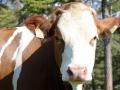 Charakter der Kuh