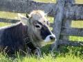 Charakter der Kuh_099
