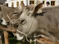 braunviehzuchtausstellung-100-jahre-vzv-2012_022
