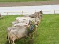 braunviehzuchtausstellung-100-jahre-vzv-2012_104